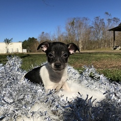 Chihuahua-Ratshire Terrier Mix Puppy For Sale in HOUSTON, TX