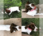German shorthaired pointer female for sale