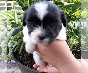 Shih Tzu Puppy for sale in CALLAO, VA, USA