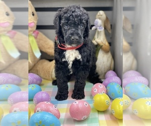 Poodle (Standard) Puppy for Sale in PLEASANT HILL, Missouri USA