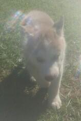 Siberian Husky Puppy For Sale in BAY LAKE, FL, USA