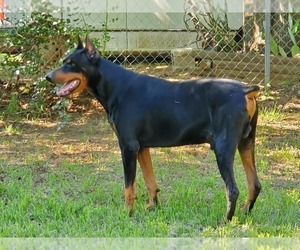 Father of the Doberman Pinscher puppies born on 03/09/2021