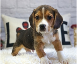 Beagle Puppy for Sale in WEST PLAINS, Missouri USA