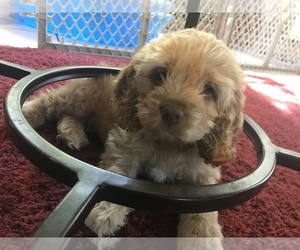Cock-A-Poo-Cocker Spaniel Mix Puppy for Sale in CHENANGO FKS, New York USA