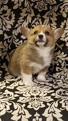 Pembroke Welsh Corgi Puppy For Sale in BLISS, ID