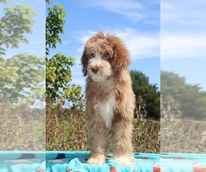 Aussiedoodle Puppy for Sale in UNION CITY, Tennessee USA