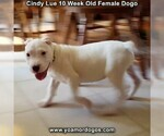 Small Photo #99 Dogo Argentino Puppy For Sale in PINEVILLE, MO, USA