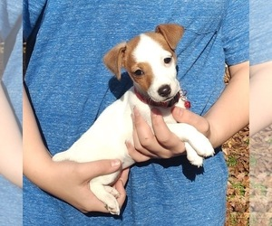 Jack Russell Terrier Puppy for sale in SENOIA, GA, USA