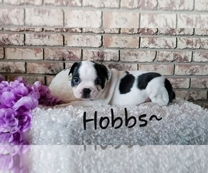 Faux Frenchbo Bulldog Puppy for Sale in SUGARCREEK, Ohio USA