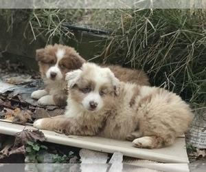 Australian Shepherd Puppy for sale in COLESVILLE, MD, USA