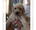 Labradoodle  Pups for a good home