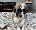 Puppy 1 Zuchon