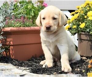 Labrador Retriever Puppy for Sale in SMITHSBURG, Maryland USA