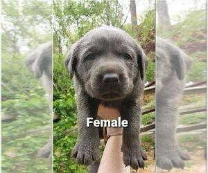 Labrador Retriever Puppy for sale in ROGERS, AR, USA
