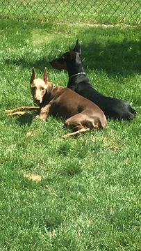 Medium Photo #1 Doberman Pinscher Puppy For Sale in CLINTON TOWNSHIP, MI, USA