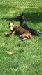 Small Photo #1 Doberman Pinscher Puppy For Sale in CLINTON TOWNSHIP, MI, USA