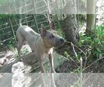 Small Photo #3 Thai Ridgeback Puppy For Sale in Owen Sound, Ontario, Canada