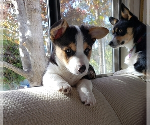 Pembroke Welsh Corgi Puppy for Sale in CAPITOLA, California USA