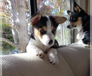 Pembroke Welsh Corgi Puppy for sale in CAPITOLA, CA, USA