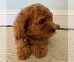 Small #2 Cavapoo-Poodle (Miniature) Mix