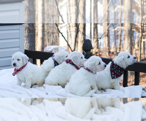Goldendoodle Puppy for Sale in ROUGEMONT, North Carolina USA