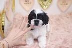 Shih Tzu Puppy For Sale in LAS VEGAS, NV, USA