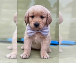Golden Retriever Puppy for sale in WEBB CITY, MO, USA