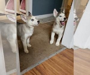 Siberian Husky Puppy for sale in SHADLE GARLAND, WA, USA