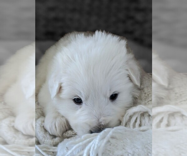 Medium Photo #3 Great Pyrenees Puppy For Sale in FALCON, CO, USA