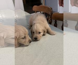 Golden Retriever Puppy for sale in GARRETT, IN, USA