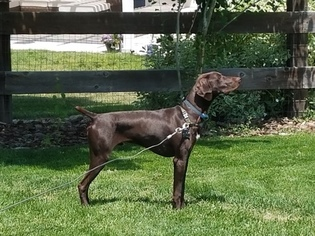 German Shorthaired Pointer Puppy For Sale in PARKER, CO, USA