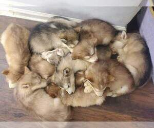 Alaskan Malamute Puppy for Sale in ERIAL, New Jersey USA