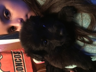 German Shepherd Dog Puppy For Sale in PUEBLO, CO