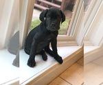 Puppy 1 Neapolitan Mastiff