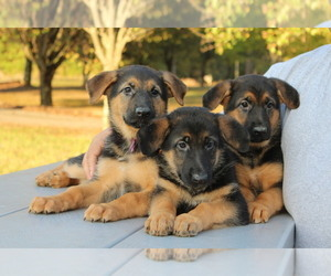 German Shepherd Dog Puppy for Sale in CHESNEE, South Carolina USA