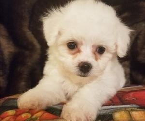 Bichon Frise Puppy for Sale in TORONTO, Ohio USA