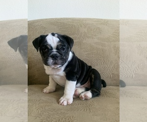 English Bulldog Puppy for sale in TEMPE, AZ, USA