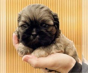 Shih Tzu Puppy for Sale in BUFORD, Georgia USA