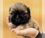 Small Photo #1 Shih Tzu Puppy For Sale in BUFORD, GA, USA