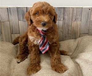 Goldendoodle Puppy for sale in DAHLONEGA, GA, USA