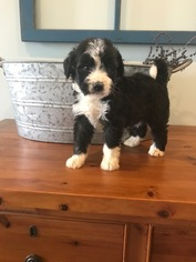 View Ad Miniature Bernedoodle Puppy For Sale Near Indiana