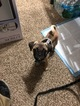 Puggle Puppy For Sale in ORLANDO, Florida,