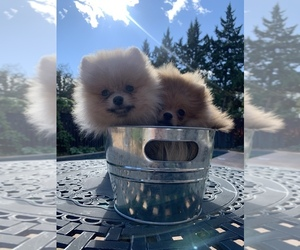Pomeranian Puppy for Sale in Mississauga, Ontario Canada