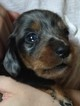 Dachshund Puppy For Sale in SPRING CITY, Tennessee,