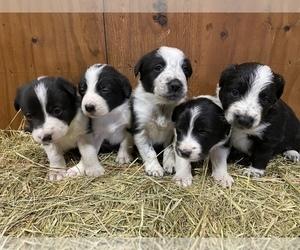 Border Collie Puppy for sale in BENSON, IL, USA