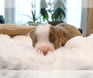 Australian Shepherd Puppy for Sale in STAFFORD, Virginia USA