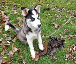 Siberian Husky Puppy for sale in BEAVERCREEK, OH, USA