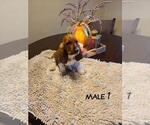 Puppy 4 Basset Artesian Normand
