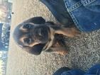 Bloodhound Puppy For Sale in WINNABOW, NC
