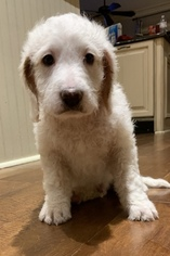Goldendoodle Mix Dog for Adoption in BRANDON, Mississippi USA